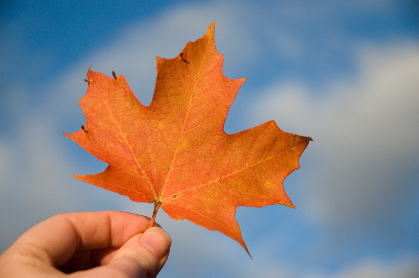 Maple leaf - Heather Katoulis from Flickr
